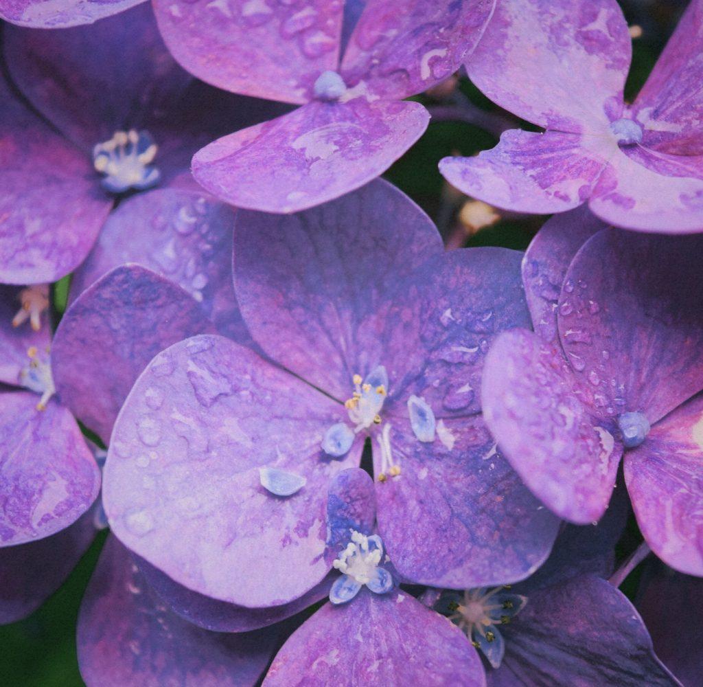 purple-hydrangeas-129044